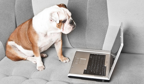 Bulldog and a laptop