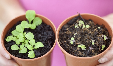 Growing seeds in pots with peat compost