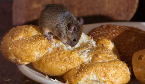 Mouse eating bread on a plate