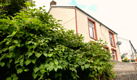 Japanese knotweed in front of a house