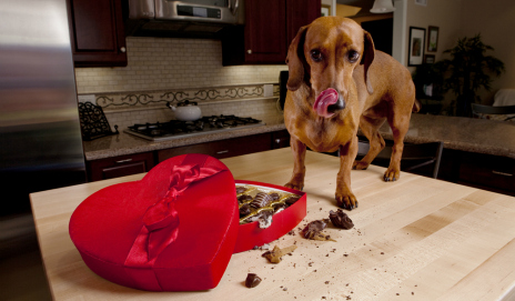 Dog eating box of chocolates