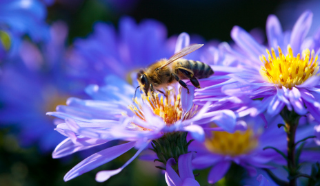A honey bee on a purple flower