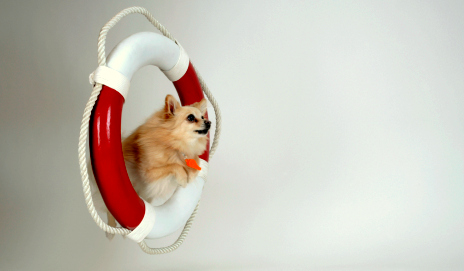 Pomeranian jumping through a hoop