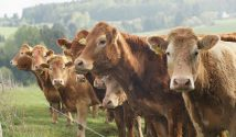 A herd of cows standing in a field, asking you politely to protect food standards in the UK